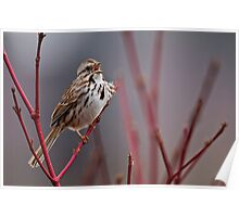 Song Sparrow on Dogwood - Ottawa, Ontario Poster