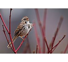 Song Sparrow on Dogwood - Ottawa, Ontario Photographic Print