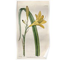 The Botanical magazine, or, Flower garden displayed by William Curtis V1 V2 1787 1789 0044 Hemerocallis Flava, Yellow Day Lilly Poster