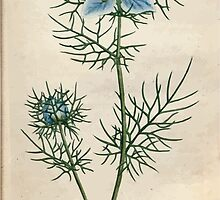The Botanical magazine, or, Flower garden displayed by William Curtis V1 V2 1787 1789 0050 Nigella Damascena, Garden Fennel Flower, Love in a Mist, Devil in a Bush by wetdryvac