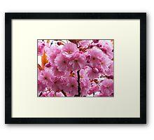 Cherry Blossom-1 Framed Print