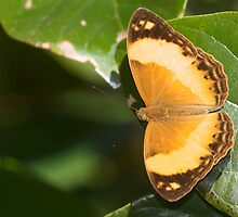 Ready for flight - Bordered Rustic Butterfly by NaturalCultural