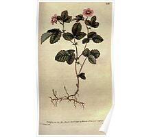 The Botanical magazine, or, Flower garden displayed by William Curtis V3 V4 1790 1791 0129 Rubus Arcticus, Dwarf Bramble Poster