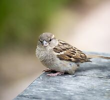 House Sparrow by Scott Lyons
