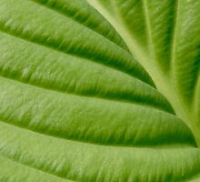 essence of the Hosta by jimHphoto