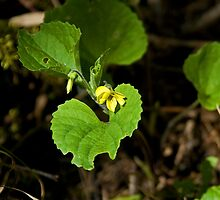 Downy Yellow Violet by Mike Oxley