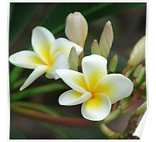 franjipani - from bud to bloom Poster