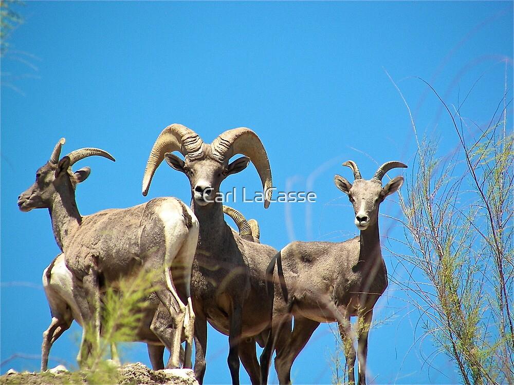 Wild Ram by Carl LaCasse