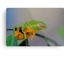 The dainty green tree frog  Metal Print