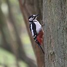 Great Spotted Woodpecker  by DutchLumix