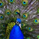 ...Let me see you shake your tail feathers :) by HelenBeresford