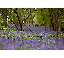 Bluebell wood, Hatchlands Photographic Print
