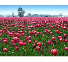 Beautiful Tulipfield Photographic Print