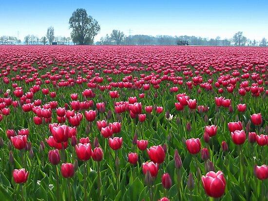 Beautiful Tulipfield by ienemien