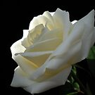 Single White Rose. by Vitta
