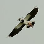 The Lapwing by Robert Abraham