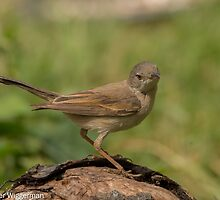Common Whitethroat (Sylvia communis) by Peter Wiggerman