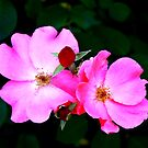 Pink and Red by Charles Buchanan