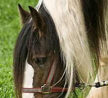 Gypsy Vanner Horse by Tracey  Dryka