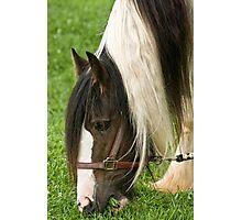 Gypsy Vanner Horse Photographic Print