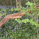 Bluebell Wood.... by supernan
