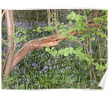 Bluebell Wood.... Poster