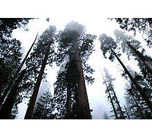 Sequoia II Photographic Print
