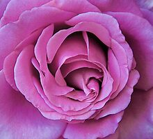 Grandiflora Rose - Sweetness by David DeWitt