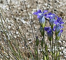 Rocky Mountain Blue Fringed Gentian by Teresa Zieba