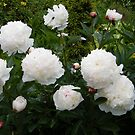 White Camelias by ElsT