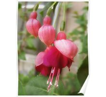 Soft Red Fuchsia Flowers Poster