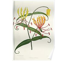 Familiar Flowers of India With Colored Plates, Lena Lowis 0093 Gloriosa Superba Poster