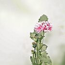 Rose Chiffon......  California Poppy Flower  by Brenda Dow