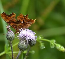 Comma Butterfly, Lyme Dorset UK by lynn carter
