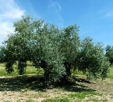 An Olive Tree by CiaoBella