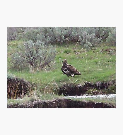 Golden Eagle in Sagebrush Photographic Print