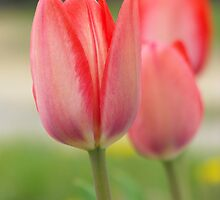 Three Rosey Tulips by Tracy Faught
