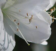 White Azalea by Kathy Yates