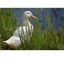 Pretty White Duck Photographic Print
