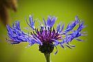 A Cornflower's Glory by DonDavisUK