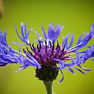 A Cornflower&#x27;s Glory by DonDavisUK