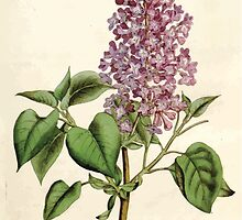 The Botanical magazine, or, Flower garden displayed by William Curtis V5 v6 1792 1793 0082 Syringa Vulgaris, Common Lilac by wetdryvac