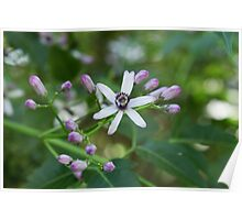 Single Chinaberry flower & buds Poster