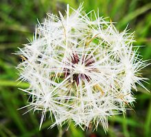 The Dandelion Clock. by Noeline R