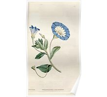 The Botanical magazine, or, Flower garden displayed by William Curtis V1 V2 1787 1789 0062 Convolvulus Tricolor, Small Convolvulus or Bindweed Poster