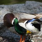 Duck Yoga by Ajeet