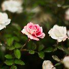 Single Pink by Leslie  Hagen
