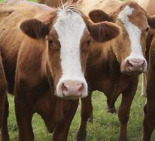 Cows by donnau