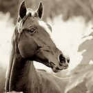 Young Stallion by Renee Hubbard Fine Art Photography