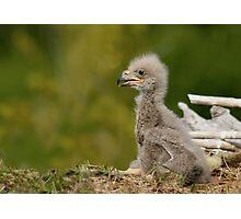 Baby Eagle Photographic Print